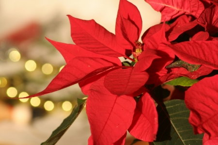 Growing And Caring For Poinsettia Plants