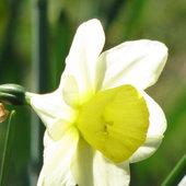 Narcissus Division 5 Triandrus Park Tropical
