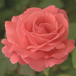 American Beauty Climbing Rose