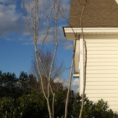 The front left corner Crepe myrtle, after severe pruning of Feb 2013.