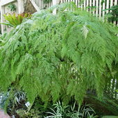 One of dozens of hanging ferns