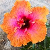 Erin Rachel hibiscus
