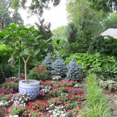 I set a brugmansia in a Chinese bowl in the center of a bed of annuals - I had to stake it to keep the wind from toppling it every day