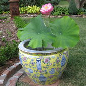 Lotus blooming in a Chinese bowl in the garden