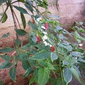 Chilli grown in Kitchen garden