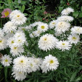 Sante daisy - look at these crazy fluffy daisies.