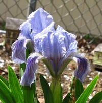 Dwarf Iris opened