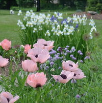 Poppy 'Princess Victoria Louise' , chives, and Siberian Iris