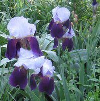 The border contains older, historic iris varieties as well as newer, named hybrids