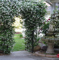 Star jasmine in full bloom
