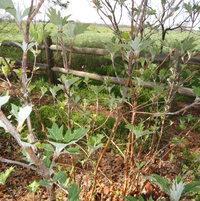 Oakleaf hydrangea breaking leaf bud