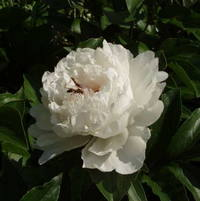 Peony Festva Maxima