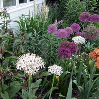 allium Silver Spring and Purple Sensation