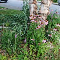 Coneflowers, Rattlesnake Master, and Kobold Gayfeather around birch
