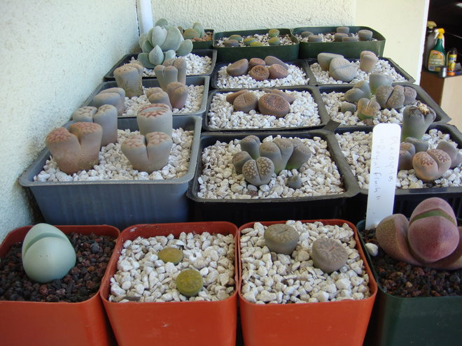 part of my lithops collection
