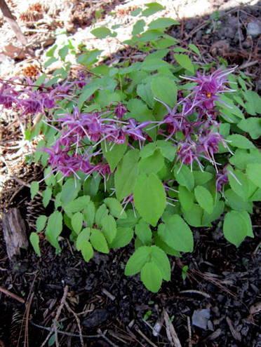Epimedium Purple Prince