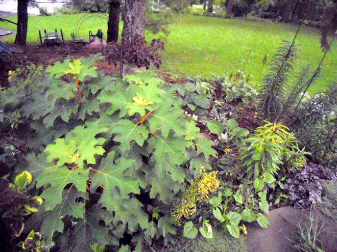 Oakleaf Hydrangea PeeWee.