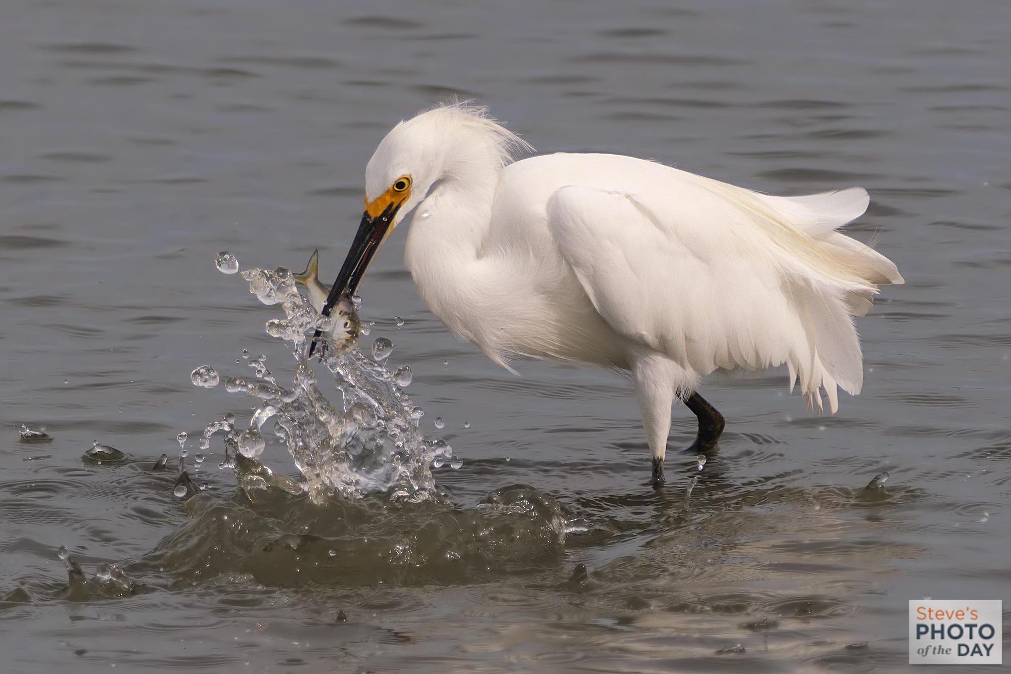 Snowy Egret Catches Fish