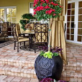 Gorgeous standard Bougainvillia with underplantings of Bacopa and Persian sheild