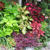 Summer \'06 loud coleus bed.