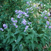 Nettle-leaved bellflower; another long bloomer, and in a lovely shade of purple.