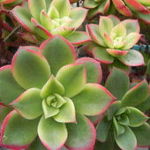 """The REAL Aeonium haworthii var. tricolor is actually a variegated form of Aeonium haworthii and maintains its triple coloration of (almost-white) Cream, Red, & Green.  The cream coloration noticeably  flushes from the sides of the leaves toward the mid-rib furrow.  Unfortunately, it's far-too-often mislabeled as Aeonium 'Kiwi' or even called a """"synonym of""""."""