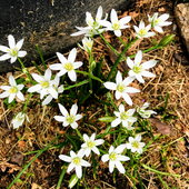 Star of Bethlehem is a natural plant that comes up in early Spring. Besides its beauty, the bulbs are edible.