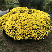 We found a variety of perennial mums by chance. These mums grew from a single plant left over from the previous year. We will further divide them all over our property for 2021. Mum flowers have medicinal purposes, and the flowers feed numerous insects and bees.