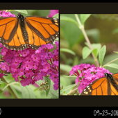 So active -- only two photos of this Monarch ..