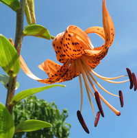 .. against a Carolina blue sky canvas - an amazing Tiger Lily