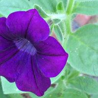 She wore Purple Velvet ..