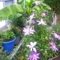 Clematis with Musa Basjoo