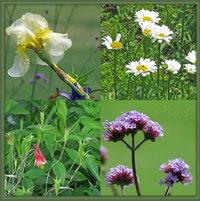 Bearded Iris - Marguerites - Columbine - Verbena bonariensis (the tall purple flowers)   aka Purpletop Vervain, Clustertop Vervain, Argentinian Vervain