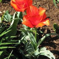Tulip Division 14 - Greigii Casa Grande
