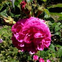 Gallica Rose 'D'Aguesseau' bred by Jean-Pierre Vibert, France 1836