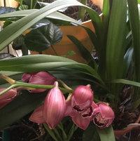 Cymbidium orchid reblooming