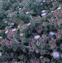 "A bank of my Mesembryanthemum crystallinum AKA ""Ice Plant"""