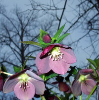 Hellebores against the sky