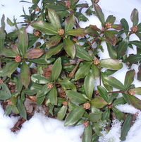 Winter Daphne