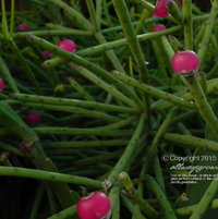 """These eye-catching pink """"berries"""" replaced plain, non-descript pale yellow flowers."""