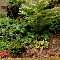 June The Acer Palmatum Sango Kaku in full leaf.