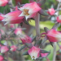 Soft pink and white flowers of Echeveria nodulosa.