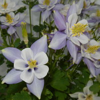 Blue Columbine looking great...