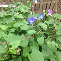 Morning Glory! Hope it doesn't take over but I love the flowers!