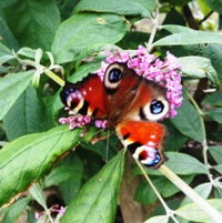 """Peacock drinking in the nectar laden Buddleia """"Pink Delight"""""""