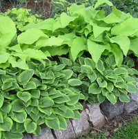 'Golden Tiara' and 'Sun Power' in the hosta border