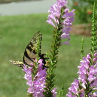 Eastern Tiger Swallowtail on Obedient Plant ..