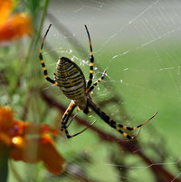 Argiope aurantia (Garden Spider) - a good predator to have in your garden .. she is a large gal. Enjoy checking on her Orb,  ...