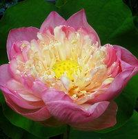 Lotus Pink Plena
