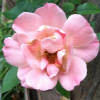 Minature pink rose